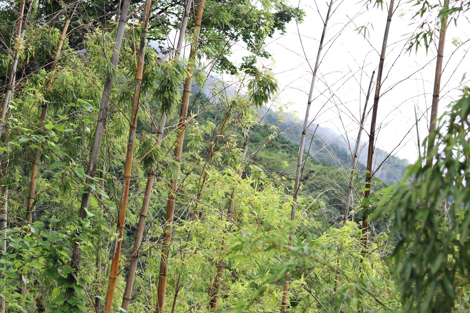 竹林と山の息吹